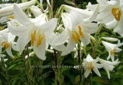 Лилия белая душистая  лекарственная