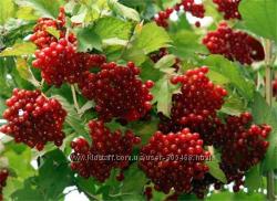 кусты калины черноплодной рябины, девичий  виноград