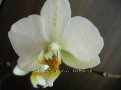 орхидея фаленопсис с 2 мя детками.