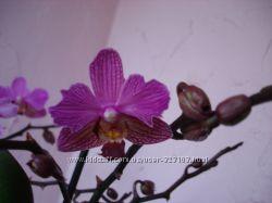 Орхидея Pha. Perceval бабочка ажурная