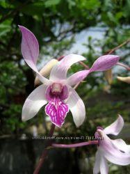Орхидея dendrobium caesar pink stripe
