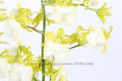 орхидея онцидиум Oncidium Pupukea, после цветения