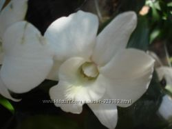 орхидея dendrobium White Surprise