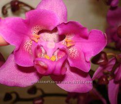 Орхидея Pha. Atlantis бабочка Three Lips