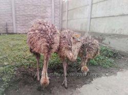 Страуы, страусята купить в Украине недорого