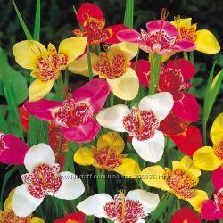 Тигридия, разные цвета, луковицы Весна 2019
