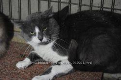 Пепельно-белый крупный кот-красавчик Ромео в добрые ручки
