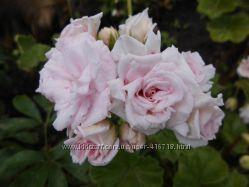 Сортовые пеларгонии красивой расцветки.