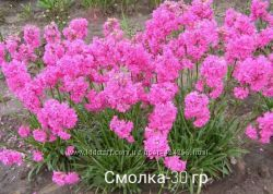 Крокусы  мускари гиацинты ботанические тюльпаны
