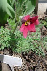 Семена прострел красный сон-трава и др. семена
