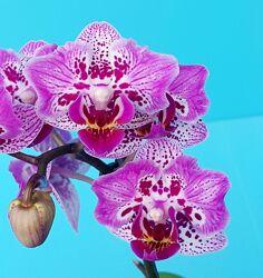 Детки сеянцы орхидеи. Открытая корневая система, без цветов