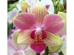 Орхидеи фаленопсисы ч 5