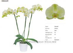 Орхидеи фаленопсисы ч 9