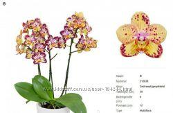 Орхидеи фаленопсисы подростки
