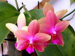 Орхидея фаленопсис ч 6