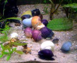 Улитки ампулярии цветные, красивые помощники в аквариуме, зеленые шарики