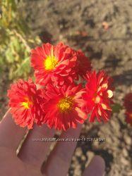 Високорослі хризантеми