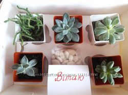 Сукулент бокс - стильний подарунок з живих рослин і декору