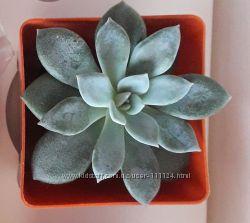 Жива рослина ехеверія у кашпо