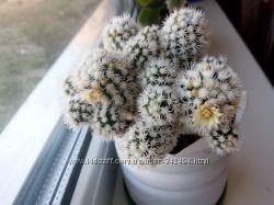 кактус  Снежок 2, 5-3см
