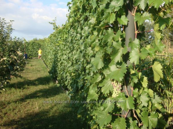 #9: мой виноградник