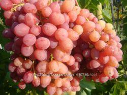 Саженцы . Виноград - крупноягодные сорта