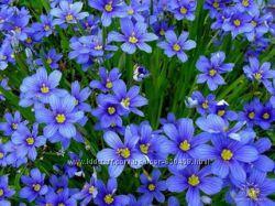 Продам декоративные растения для сада Сисюринхиум
