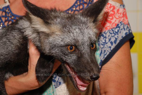 Предлагаем абсолютно ручных очаровательных черно-бурых лисиц