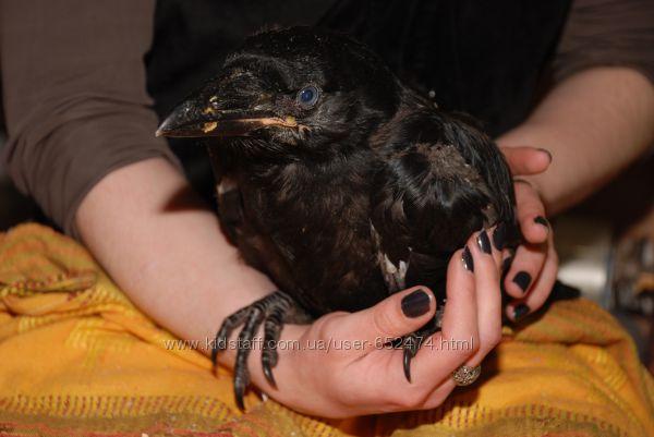 Ручной ворон крук