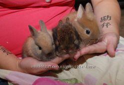 Породистые элитные вислоухие карликовые кролики баранчики