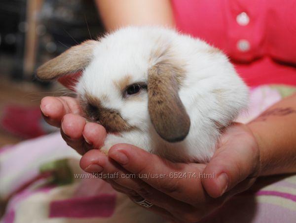 Мини крольчата, карликовые торчеухие голандские кролики мини