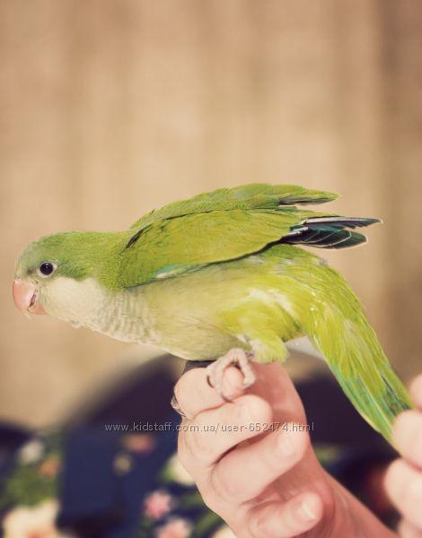 Калита или Квакер попугай-монах Myopsitta monachus - полностью ручные