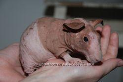 Морские свинки сфинкс - голыши