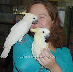 Очаровательные птенцы, выкормыши какаду желтощекий