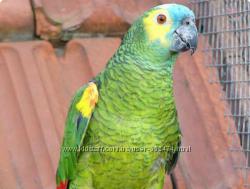 Ручной птенец попугай Амазон