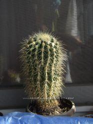 Продам большой кактус Гурзона