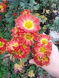 Юкка нитчатная, хризантемы, цветы