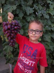Саженцы винограда Дубовский розовый