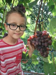 саженцы винограда Низина, Юбилей Новочеркаска