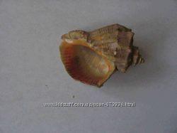 Сувенир Морская раковина малая