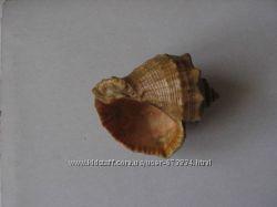 Сувенир Морская раковина средняя