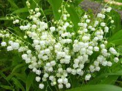 Ландыш майский 5 растений