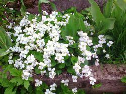 Белая фиалка Королева сада. Посадка весной.