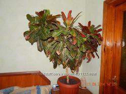 Кротон превосходное растение