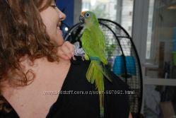 Ручные птенцы попугай Аратинга