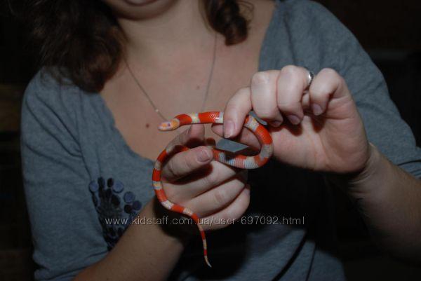 Яркие молодые ручные молочные змеи редких морф