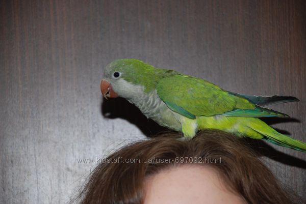Ручной попугай Зеленый монах