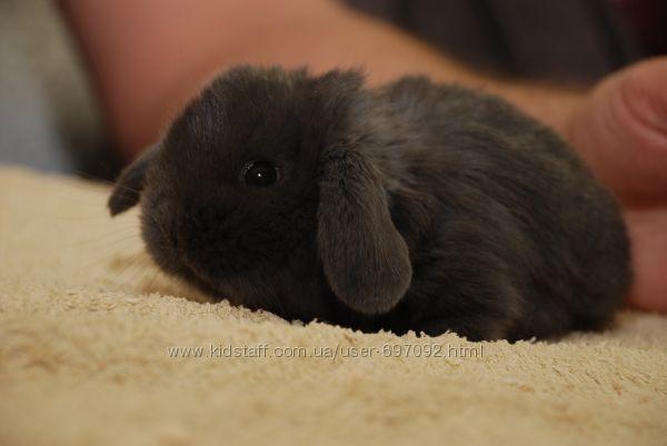 Карлковый Мини англ. кролик золотистый уголь - ручные крольчата