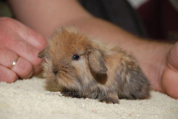 Мини баранчики - карликовый вислоухий кролик ручные масики