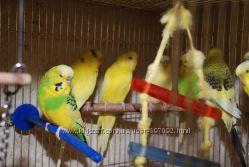 Волнистый выставочный чех редкие окраски и спенглы - ручные птенцы